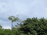 Yello billed storks in the trees