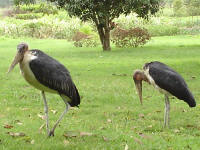 Maribou Storks right next to us.