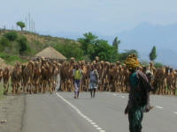 A herd of camels walking along the road.