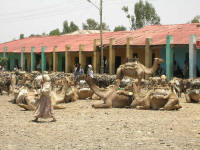 Camels resting in Axum