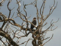 Buzzard in a tree in the yard. The tree was cut down a few days later.