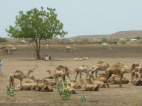 A herd of camels resting near the road
