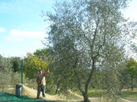 It is olive picking season, even in the campground
