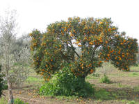 Orange trees are all along the Mediterranean. Lovely and sweet