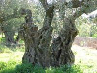 Olive trees are all around the Mediterranean. This one is old.