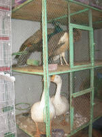 Geese and Birds of Paradise for sale