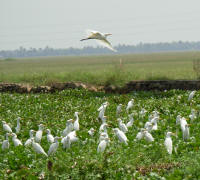 Herons making use of the carpet of water hyacinth