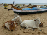 Cows like the beach for resting