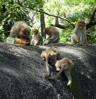 Monkeys love Fanta Orange. They frighten a child, steal the bottle and bite a hole in it. The dribbles are licked up eagerly.