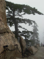 A Pine Tree clinging between some rocks