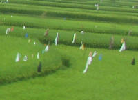 Flags and scarecrows