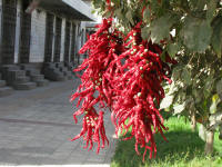 Not flowers but chillies hanging from a tree to dry