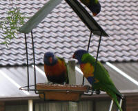The dominant pair guarding the seed tray