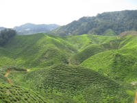 A tea estate