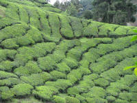 Rows of tea bushes