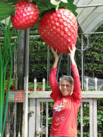 Pickingalarge strawberry - I wish!