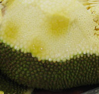 Jack Fruit with minor rouded spikes