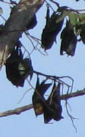 Fruit bats hanging in a tree