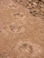 Footprints of an iguanodon