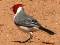 Red-crested Cardinal (?)