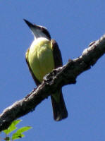 Piet-me-vrou or Great Kiskadee