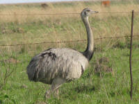 A Rhea just before it slipped gracefully through the fence