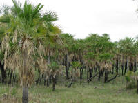 Palm Savannah