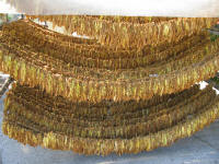 Tobacco being dried