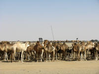 Camels waiting for the train