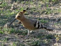 An Asian Hoopoe